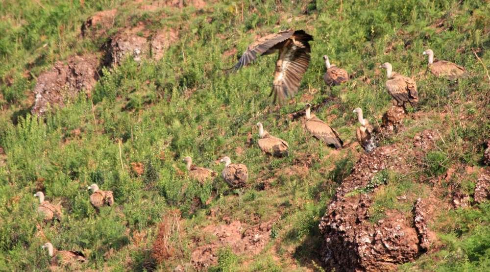 Quelques vautours fauves